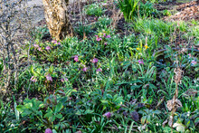 Spring Garden With Blooming Pink Hellebores, White Snowdrops, Yellow Mini Daffodils On A Green Background. Cottage Garden In Spring With The First Flowers.