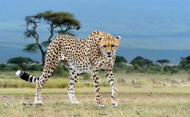 Wild african cheetah, beautiful mammal animal
