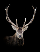 Portrait Red Deer Isolated On Dark Background