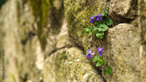 Fototapeta Fiołek kosmaty rosnący na kamieniu obraz