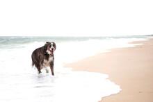 Beautiful Border Collie Dog Running Along The Ocean Shore.