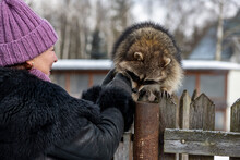 Woman In Black Fur Coat And Scarf Plays With Gray Raccoon In Winter Park