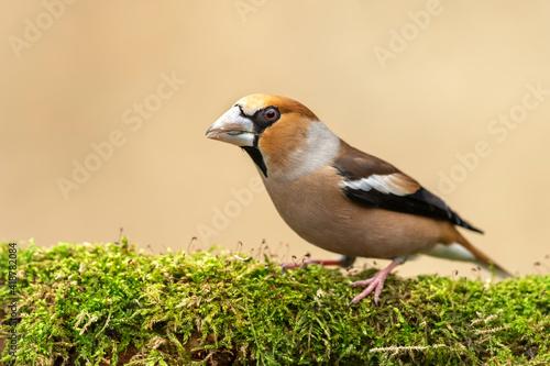 Fototapeta Hawfinch (Coccothraustes coccothraustes) bird close up