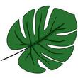 Zielony liść monstery z wcięciami