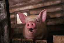 Pig Opened His Mouth At Shallow Depth Of Field