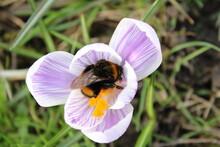 Bee Covered In Pollen  On Purple Crocus