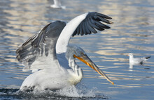 Pelican Flying With Open Wings