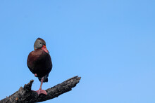 Whistling Duck On A Branch Against A Blue Sky