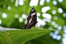 Philippine Admirals Butterfly