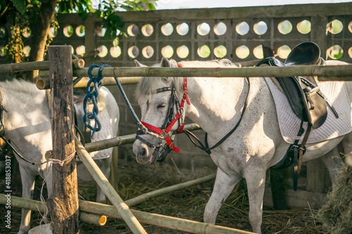 Canvas Print Portrait of a beautiful white horse standing in a stable stables on a farm