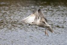 Juvenile Herring Gull In Flight, Southampton Common, Hampshire, UK