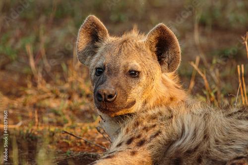 Fotografie, Obraz Spotted hyena (Crocuta crocuta) portrait of a cub in warm afternoon light