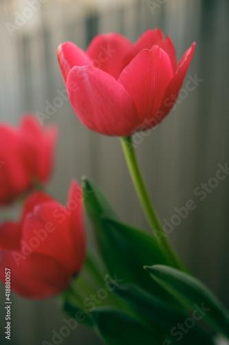 Fototapety, obrazy: red tulips in a vase