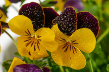 Viola Tricolor Field Flower Wild Pansy