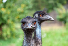 Close-up On Two Heads Of Black Wild Ostriches And A Large Beak, Red Eyes And A Long Neck. Wild Animals And Rare Species From The Red Book.
