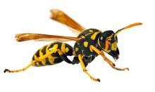 Wasp Isolated On White Background Vespula Vulgaris