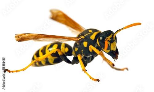wasp isolated on white background Vespula Vulgaris Fotobehang