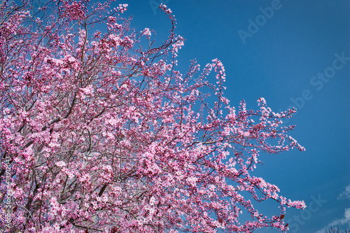 Canvas-taulu Ramas de árbol almendro en flor al inicio de la primavera