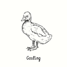 Gosling Standing Side View. Ink Black And White Doodle Drawing In Woodcut Outline Style. Vector Illustration