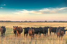 Cattle In The Fields Of Argentina