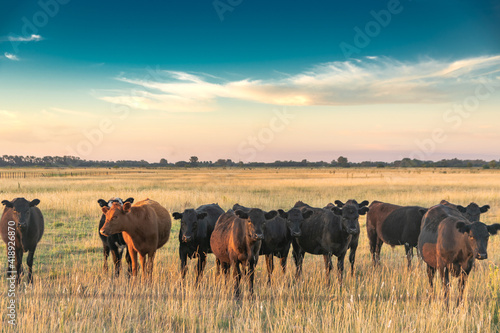 Cattle in the fields of Argentina Wallpaper Mural