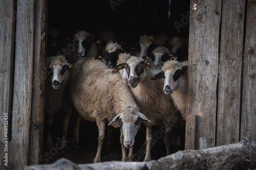 Sheep in a barn - animal farm Fototapeta