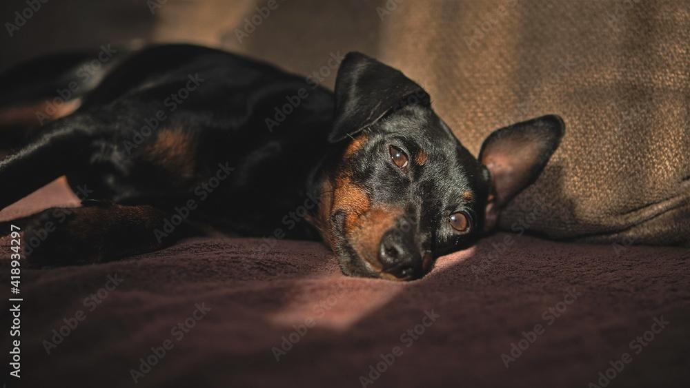 Fototapeta Czarny pies, Pinczer Miniaturowy