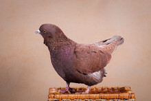 Brown Fat Pigeon Tilted Its Head Funny