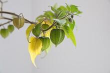Physalis Peruviana, Tomatillo, Inca Berry, Cape Gooseberry