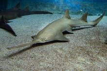 Sawfish Underwater Close Up Detail