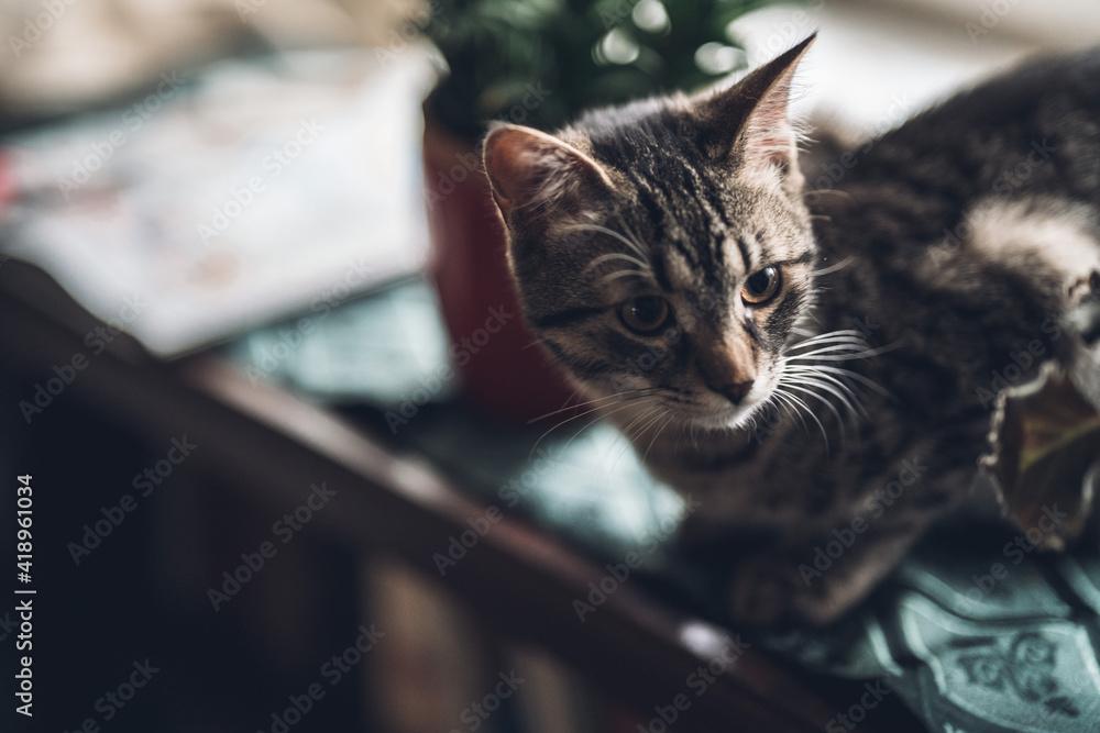 Fototapeta cute whisker cat sitting by window between plants looking at something and warming himself