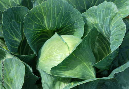 Leinwand Poster Sprouts of cabbage in leaves