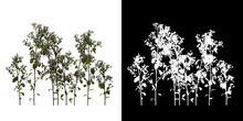 Left View Of Tree (Euphorbia Heliscopia) Png With Alpha Channel To Cutout 3D Rendering