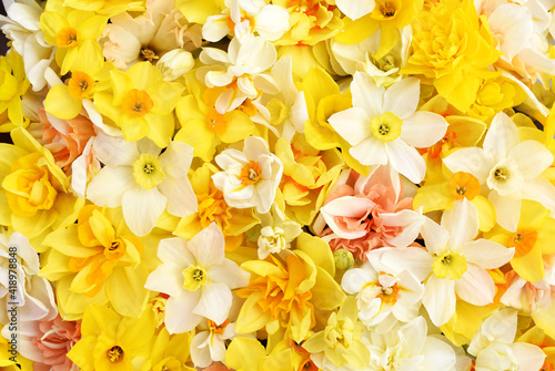 Spring blossoming yellow, white and apricot color daffodils, springtime blooming narcissus (jonquil) flowers bouquet background © ulada
