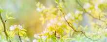 Beautiful Panoramic Spring Landscape With Blooming White Apple Tree Flowers And Bokeh Background