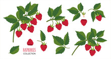 Raspberry Plant Twig. Sprig Of Raspberries Set With Berry And Leafs. Elements Constructor For Design Congratulations, Invitations, Cards, Banners.