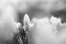 Delicate White Blooming Crocuses, Can Be Used As A Blurred Natural Background In Black And Whitea.