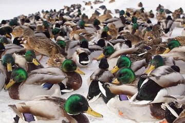 Kaczki ,ptactwo wodne ,zimujące ptaki