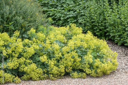 Alchemilla mollis or lady's mantle in sunny border Fototapeta