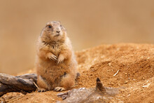 Black-tailed Prairie Dog, Cynomys Ludovicianus, Sitting Near Burrow In Sand And Looking Around. Ground Squirrel In Nature Habitat. Wildlife Scene. Animal In Alert. Cute Rodent From North America.