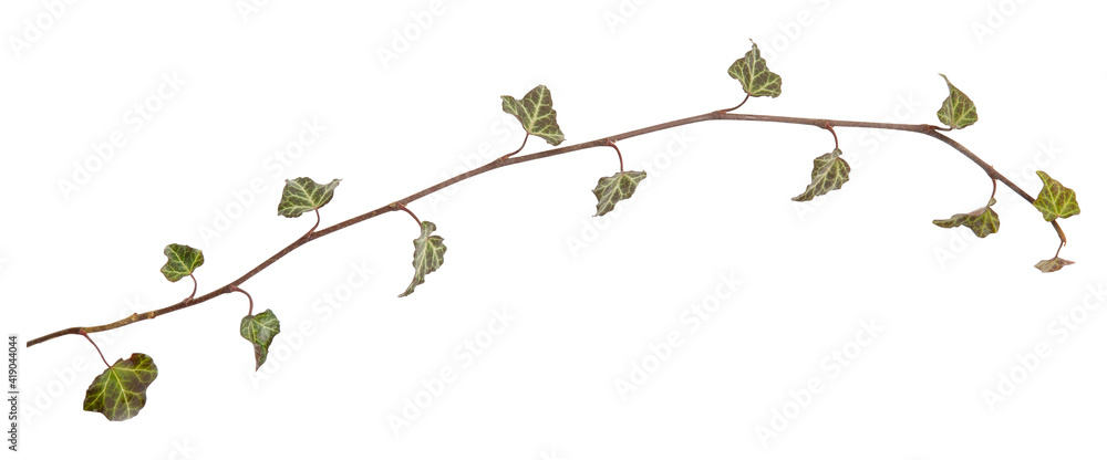 Fototapeta Ivy branch. Hedera helix twig. Close up isolated on white background