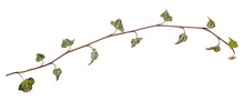 Ivy Branch. Hedera Helix Twig. Close Up Isolated On White Background