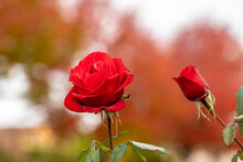 Live Red Roses, Rosaceae Rosoideae Rosa, Flower Blossoms On A Plant With Green Leaves In Garden, Showing Early Signs Of Decay And Aging, And Beginning To Wither And Wilt, In Autumn.