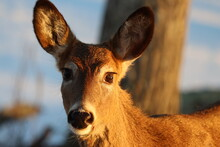 Closeup Of A Whitetail Doe's Face In Winter