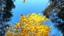Maple Tree Crown Shake And Bright Yellow Leaves Fall Down Extreme Low Angle