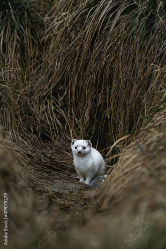 Fototapeta stoat or short-tailed weasel in white winter fur standing in front of its den in