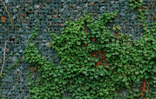 Gabion Retaining Wall - Grey Stones In Gabion Metallic Baskets Kept By Retaining Wall Wire Mesh Overgrown With Green Ivy Leaves. Backdrop Design And Eco Wall And Die-cut For Artwork. A Lot Of Leaves.