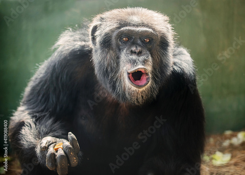 Photo Chimpanzee Pant Hoot