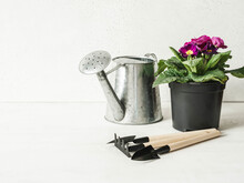Composition With Pink Primroses Flowers In Pots, Metal Watering Can And Garden Tools
