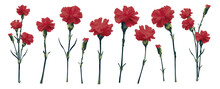 Realistic 3d Vector Red Carnation Big Set. Isolated On White Bouquet Parts. Blossom Brunch Full Length. Wedding Decoration, Invitation, Card. Greetings, Anniversary, Ivory Rose